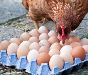 doğal organik köy yumurtası fiyatları