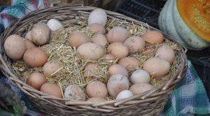 köy yumurtası üreticileri