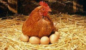 köy yumurtası ücretleri